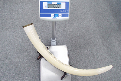 象牙 計測