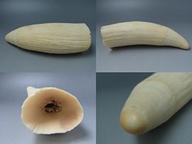 マッコウクジラの歯を高価買取しました。千葉県木更津市のお客様