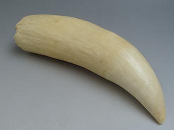 鯨の歯買取りました。 千葉県のお客様