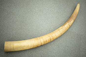 象牙の一本牙を高価買取! 一本牙の査定はどこを見る??