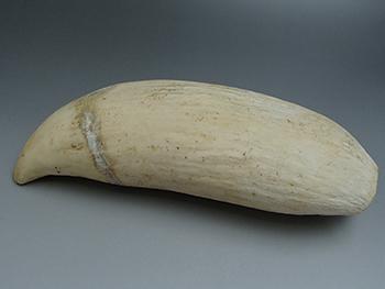 クジラの歯を高価買取! クジラの歯の査定ポイント3点紹介します!