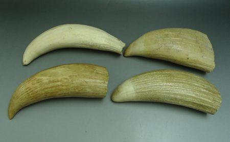 クジラ 歯
