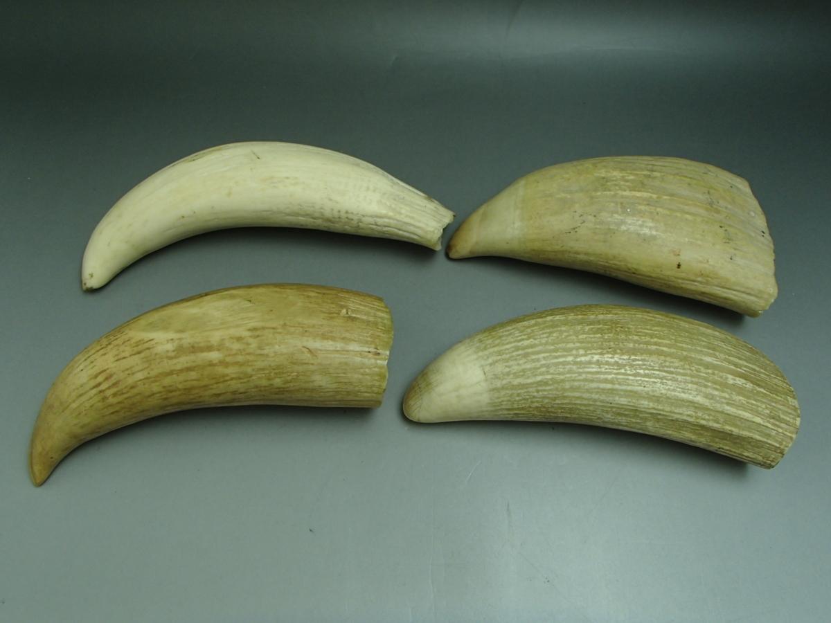 マッコウクジラの歯を4本同時買取! 1本のみの買取よりも4本のほうが・・・