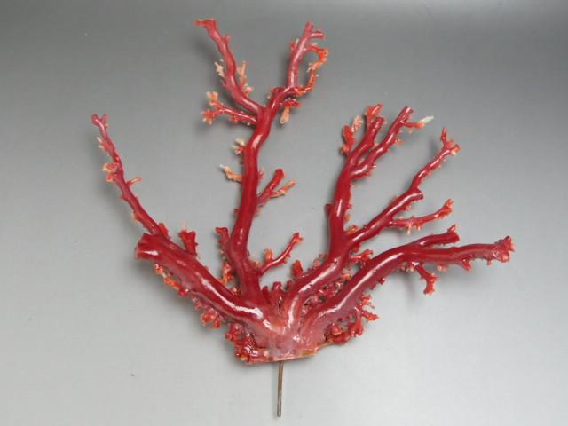 赤珊瑚の原木の査定ポイントは色と他には・・・?