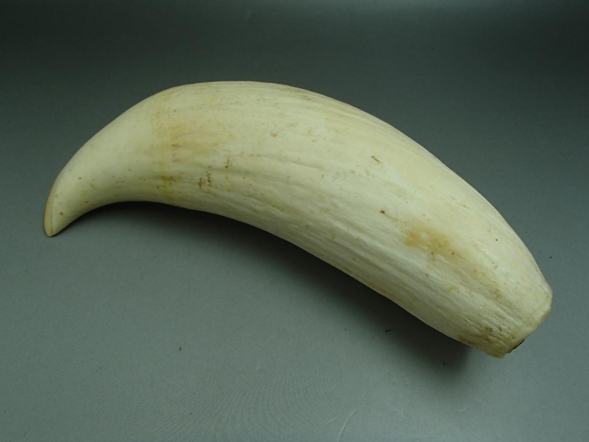 1本で561gもあるマッコウクジラの歯の買取価格は一体いくら!?