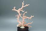ピンク珊瑚 原木