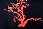 赤珊瑚原木